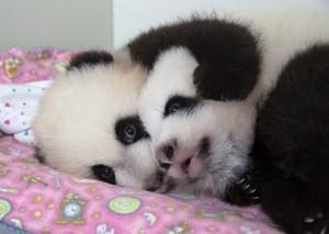 panda_cubs2013_131015_cub_a_b_box_ZA_8922