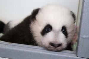 panda_cubs2013_131022_cub_a_box_ZA_9342