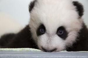 panda_cubs2013_131022_cub_a_box_ZA_9378