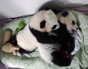 panda_cubs2013_251013_jwebb_AonBedited