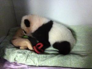 panda_cubs2013_251013_jwebb_teething_toysedited