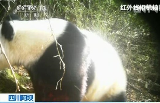 Der wilde Große Panda