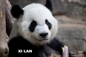 panda_130529_xilan_ZA_9747.167b426