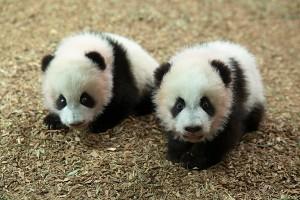 panda_cubs2013_131127_cubs_b_a_dayroom_ZA_1753_600