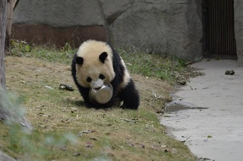 Große Pandas im Portrait: Ao Li Ao