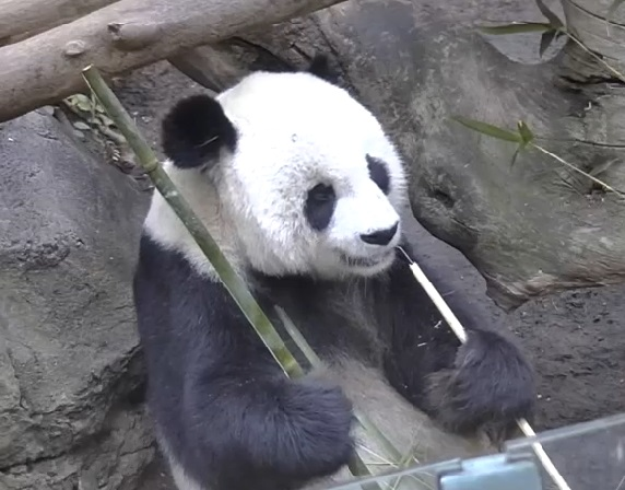 Gao Gao ist operiert