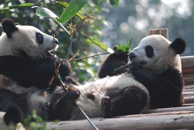 Giant Pandas Population steigt