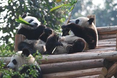 Zwei Große Pandas für Macau