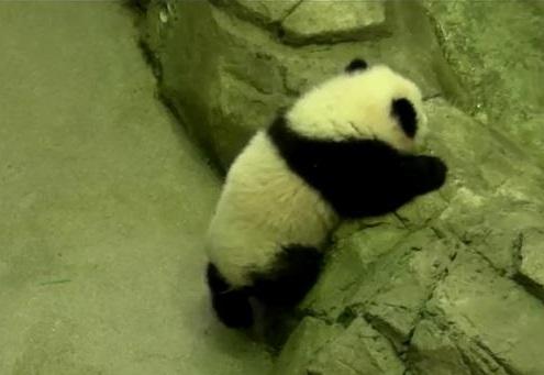 Bald debütiert Bao Bao
