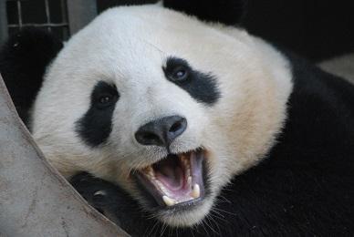 Zahnprobleme der Großen Pandas