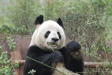 Lunchtime des Großen Pandas
