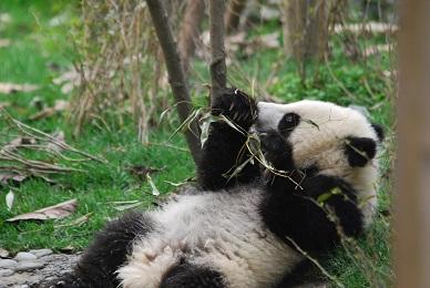 Ich esse Bambus