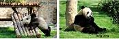 Jinan Große Pandas