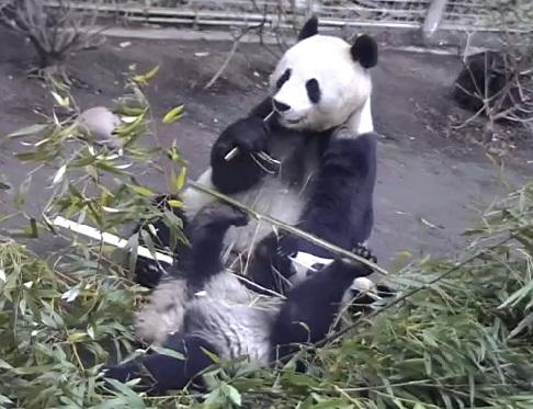 Bai Yun aus San Diego Zoo