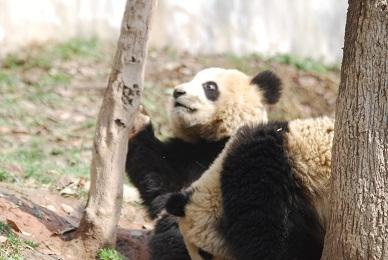 Große Pandas für Jilin