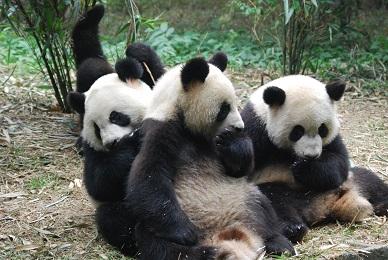 Gehe nach Chengdu und erlebe Große Pandas!