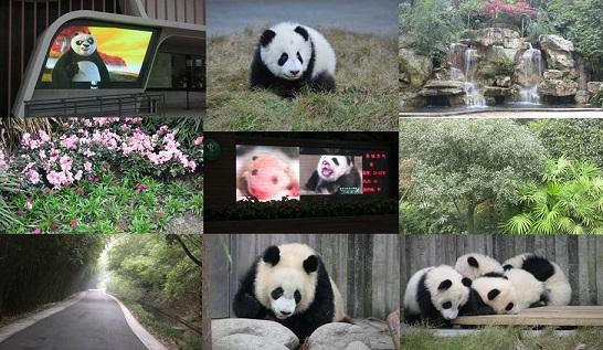 Die Großen Pandas Aktivitäten auf Chengdu Panda Base