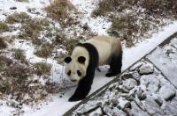 Schnee & Großer Panda