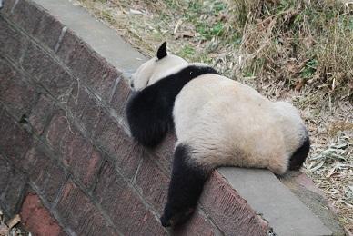 Fuzhou hat jetzt 7 Große Pandas