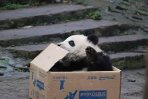Panda Patenschaftspaket