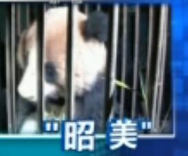 In Chengdu wird der wilde Große Panda betreut