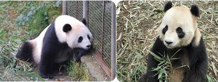 Fu Wa & Feng Yi sind Stars des Negara Zoos