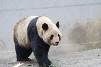 Das erste Panda-Baby 2014