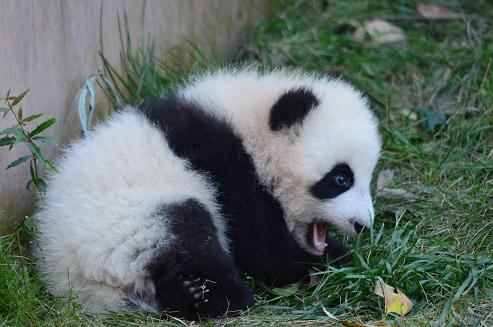 Große Pandas Sprache