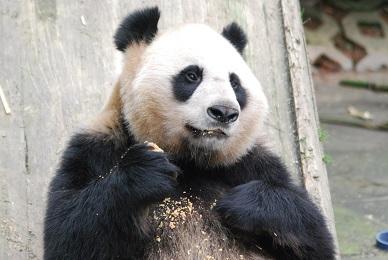 Aus der Welt der Großen Pandas