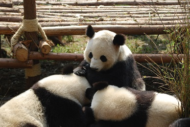 Aus dem Leben des Großen Pandas