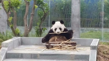 Der Große Panda Jin Ke