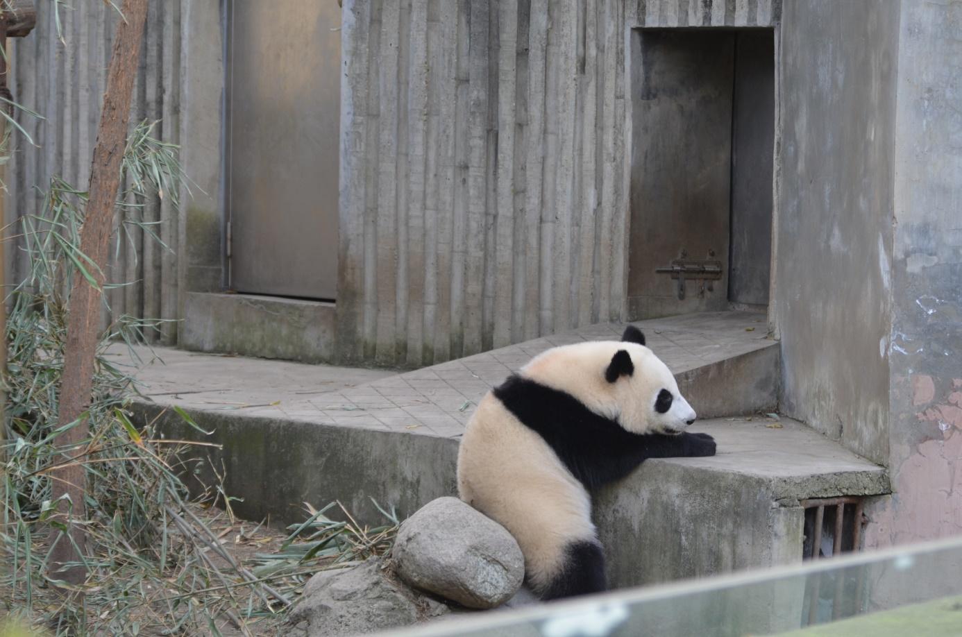 Besucher & Große Pandas