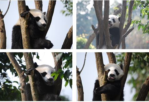 Giant Panda: Ich komme nicht