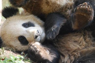 Gemeinsamkeiten bei Roten & Großen Pandas