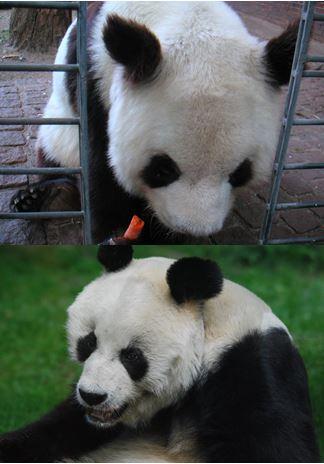Foto: Yan Yan (oben) & Bao Bao (unten) © GPFIN