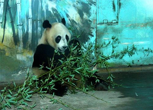 Ding Ding sendet Grüße aus Jinan Zoo