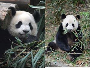 Shu Yun & Bei Bei debütierten im Qingdao Zoo