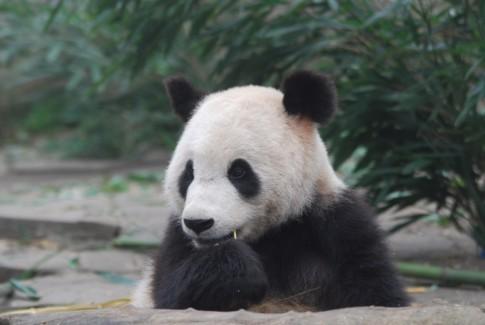 Zwei gesunde Große Pandas