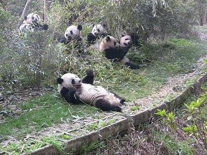 Feier und Geburten bei Großen Pandas