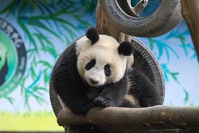 Giant Panda: Zeichen