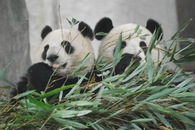 Zwei Große Pandas für Yunnan Park