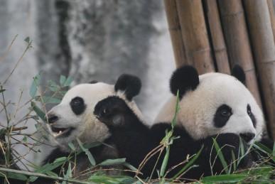 Reise zu Großen Pandas