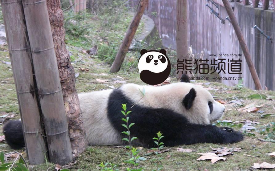 ipanda.com.de – Giant Pandas sind jetzt live in Deutschland!