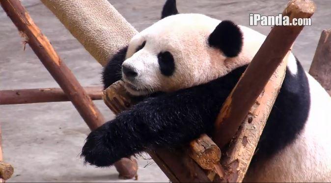 Wochenende mit Giant Pandas