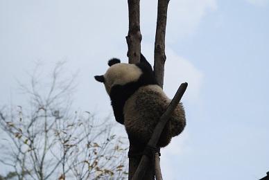 Weitere Große Pandas kehren in die Wildnis