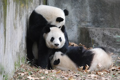 Alle wollen Große Pandas sehen
