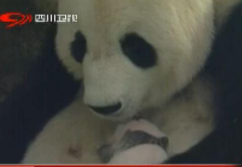 Die Geburt des Panda-Babys auf BFX