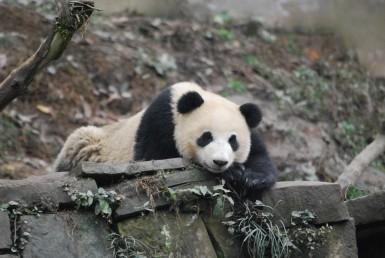 Neue Schutzgebiete für Große Pandas