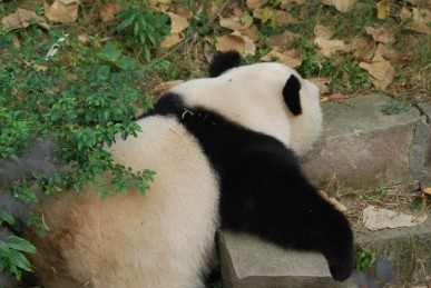 Große Pandas aus Atlanta Zoo