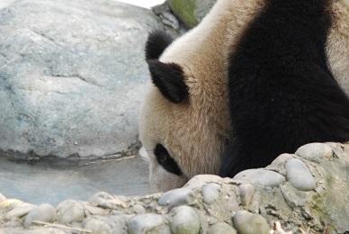 Schutzmaßnahmen für Große Pandas